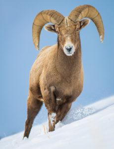 Grand Teton wildlife tours-Bighorn-Jackson Hole and Yellowstone