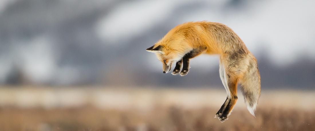 Jackson Hole wildlife tours-Fox-Grand Teton and Yellowstone