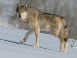 Jackson Hole wildlife tours-Wolf-Grand Teton and Yellowstone Tours
