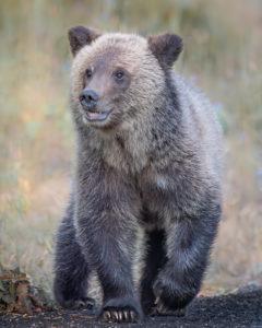 grizzly_jackson_wildlife_tours